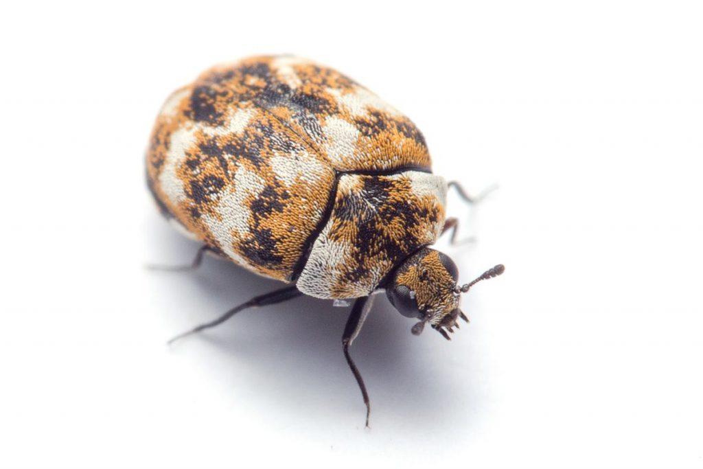carpet beetle tauranga