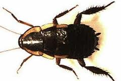 Gisborne Roaches